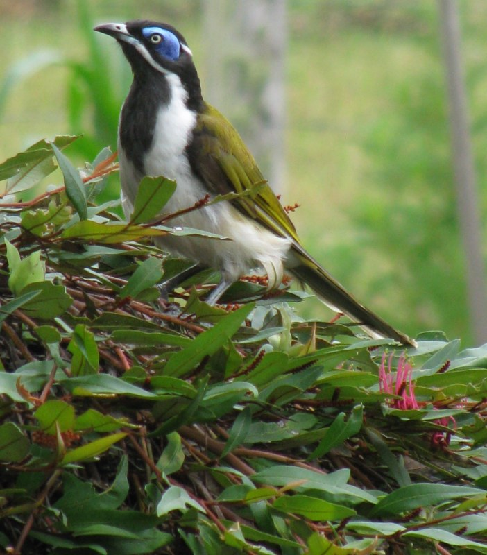 Blue-faced Honeyeater... lotsa food about